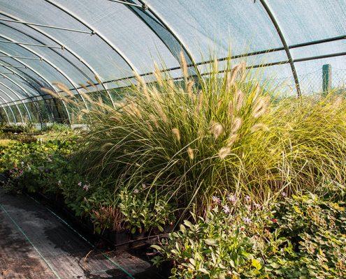 Bild Lampenputzer-Gras im Gewächshaus