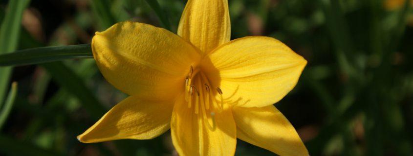 Hemerocallis middendorffii